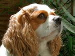 Cavalier King Charles Spaniel Darcy