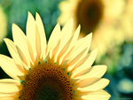 Sunflower Upclose HD
