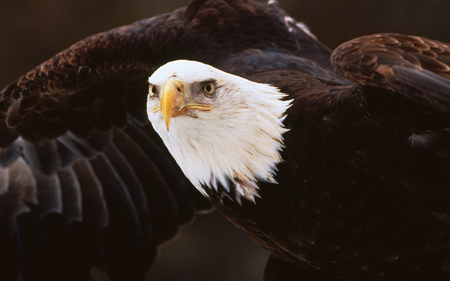 Eagle - animal, wildlife, eagle, bird