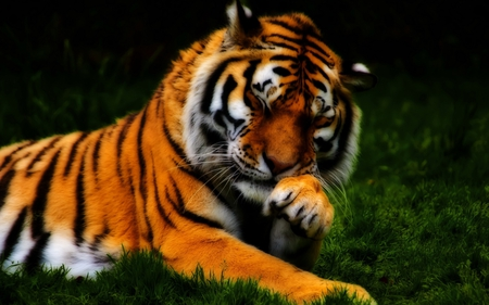 Tiger - design, animal, grass, cat, whiskers, paw, tiger