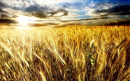 Golden Wheat Field - pretty, autumn, stunning, sun, wheat, beautiful, nice, outstanding, corn, amazing, harvest, cloud, horizon, fantastic, golden, sky, golden wheat field, skyphoenixx1, awesome, sunshine, nature, field