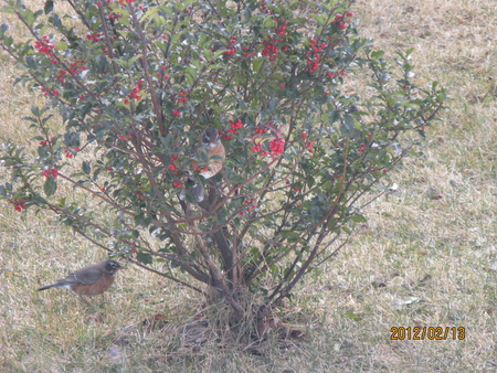 Robins in my Hollie Berry Tree - birds, robins, trees, weather