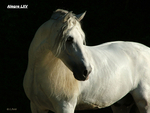 Silver Andalusian in the Darkness