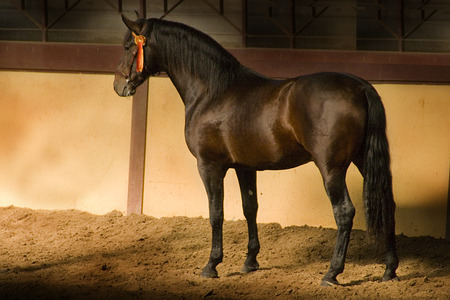 Andalusian Shadow - andalusian horse, carthusian horse, shadow, spanish horse, iberian horse, animals, horses