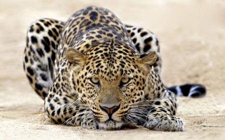 Leopard - leopard, cat, cats, leopards, animal, cool, spots, animals, large, jaguar, wild