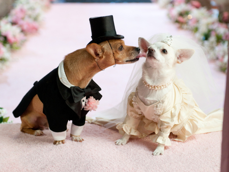 Dog wedding - animal, gentleman, wedding, bride, lady, dog