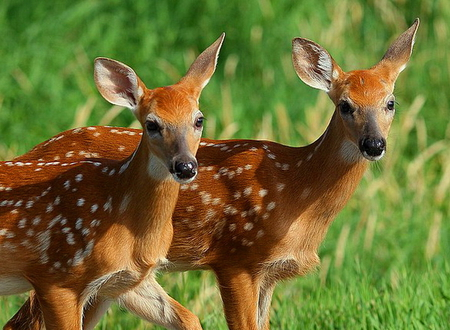 Seeing double - spotted, fawns, brown, two, grass, white, deer