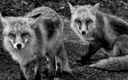 Foxes - fox, black and white, foxes, beautiful, animals, dogs