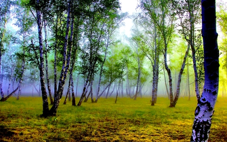 FOGGY FOREST - forest, most, birch, fog, grove