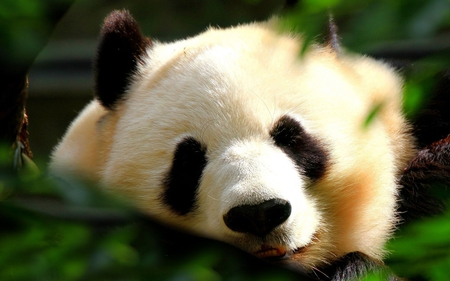 panda face - photography, black, animal, soft, cute, bear, white, panda
