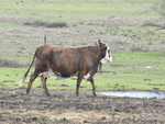 Texas cow walking in the mud during the rain.