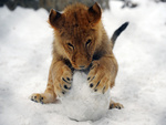 Lion cub playing with snow ball