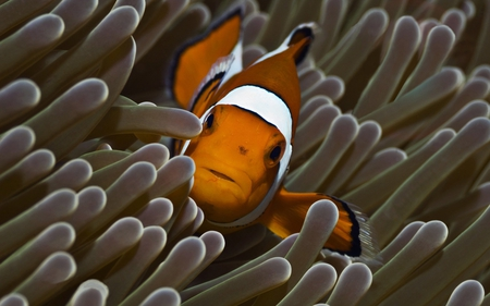 clownfish in reef - clownfish, reef, brown, white