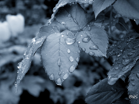 Sad - leaves, water, droplet, dark, sad, rain, blue