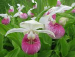 The State Flower For Minnesota is the Lady's Slipper
