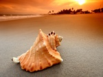 Conch at the sea beach