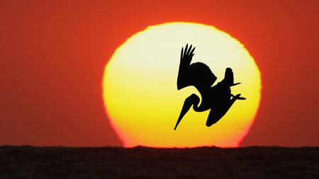 The Sun Pelican - oceans, sun, orange, yellow, huntig, sundown, nice, pelicans, gold, sunrise, pelican, wings, widescreen, life, golden, birds, black, oceanscape, sky, water, birdscape, cool, awesome, seascape, photoshop, hunter, red, brown, circel, beautiful, sea, photography, sunsets, hunt, hot, animals, photo, stars, amazing, colors, maroon, wildlife, silhoette, nature