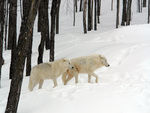 White Arctic wolves