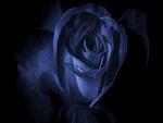 Trandafir Albastru