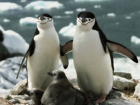 Penguin_Family - picture, penguin, cute, family