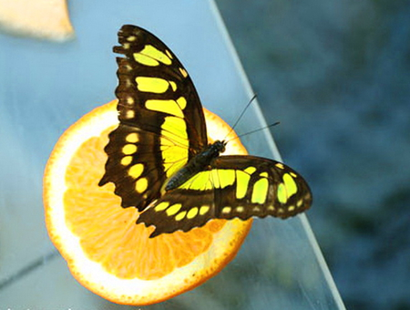 Citrus snack - butterfly, orange, fruit, black, yellow