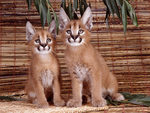 Florida Panthers cubs.