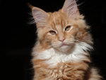 Maine coon serious