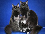 Maine coon family