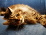 Maine coon cat relaxing