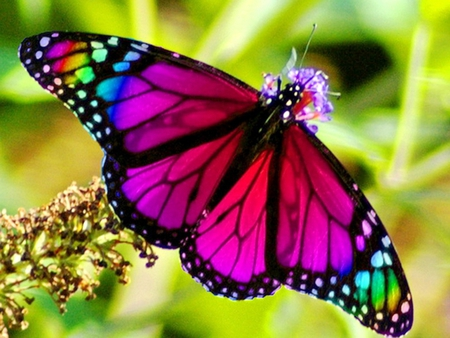 Rainbow Butterfly - Butterflies & Animals Background ...