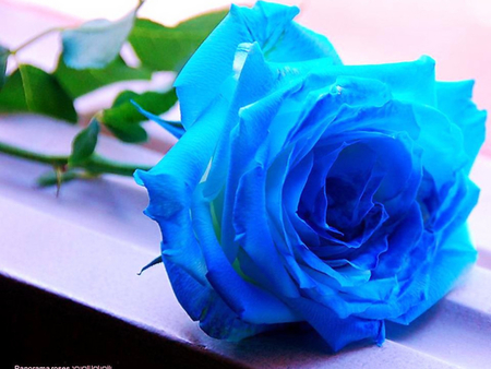a blue rose flowers nature background wallpapers on desktop