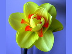 Green daffodil (Narcissus)