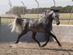Grey Andalusian