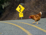 ~Confidently marching chicken~