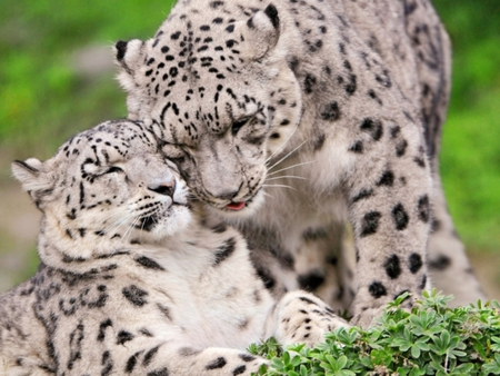 A Mothers Love - wild, beautiful, snow leopard, cat, animal