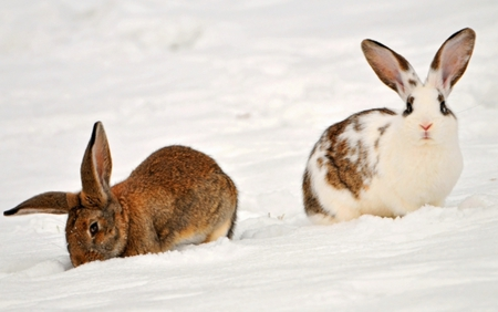 Rabbits in the snow - cute, rabbits, snow, animals