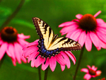 Tiger-Swallowtail-Butterfly & Pink Daisy