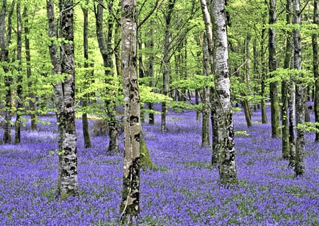 bluebell forest - forest, nature, spring, bluebells