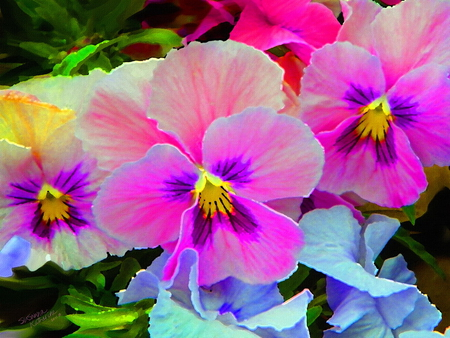 Pansy bright flowers nature background wallpapers on desktop pansy bright purple bright pansies flowers yellow pink blue mightylinksfo