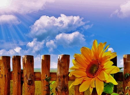 Sunflower - sky, summer, nature, flower, yellow, sunflower, clouds, pretty, fence