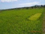 Excellent Rice Producing Field.