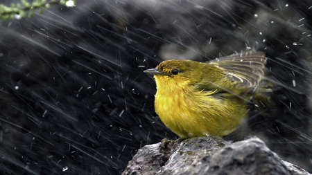 spring bath - cute, photography, bird, yellow, nature, rain